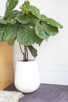 흰색 냄비에 실내 바이올린 잎 무화과 식물의 세로 샷