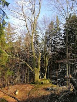 Jeleniagóra、ポーランドの森で古い背の高い木の垂直方向のショット。