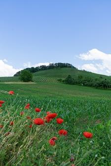 Вертикальный выброс красивых цветов мака, растущих в поле