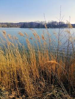 Вертикальный снимок камыша обыкновенного, растущего рядом с озером в еленя-гуре, польша.