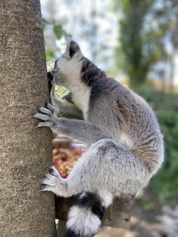 公園の木の枝で遊ぶかわいいワオキツネザルの垂直ショット