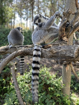 Вертикальный снимок милых хвостатых лемуров, играющих на дереве в парке