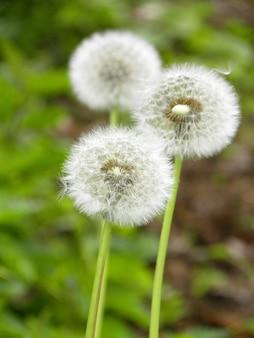 공원에서 민들레 꽃의 세로 샷