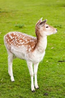 녹색 잔디와 풀밭에 서있는 휴 경지 사슴 암컷의 세로 샷