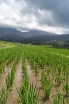 Вертикальный снимок рисовых полей при дневном свете