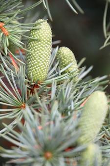 Вертикальный снимок сосновых шишек пиньон