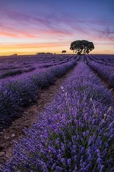日没時のフィールドで紫色の花の垂直ショット