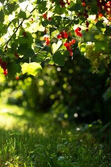 푸른 잔디 재치에 대 한 열매와 붉은 건포도 부시의 세로 쐈 어. 여름 수직 자연 배경입니다. 사랑스러운 보케, 복사 공간