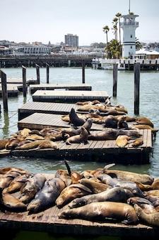 미국 샌프란시스코의 목조 부두에 있는 바다 사자의 세로 샷