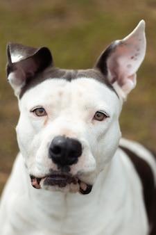 흑백 패턴이 있는 dogo argentino 얼굴의 세로 샷