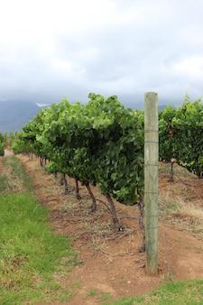 Вертикальный снимок виноградных лоз на винограднике в пасмурную погоду.