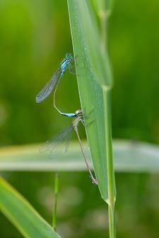 Вертикальный снимок насекомых-лазоревых стрекоз, спаривающихся на зеленом листе в саду