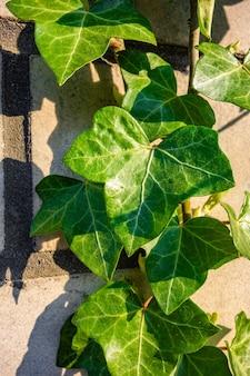 石の壁にツタの葉の垂直ショット