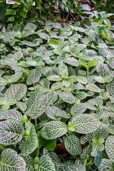 Fittoniaalbivenisと呼ばれる植物の垂直ショット