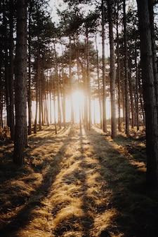 オランダ、ドンブルグで撮影された森の木々を通して輝く太陽の垂直ショット