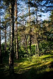 夏の晴れた日に森の背の高い木の垂直ショット