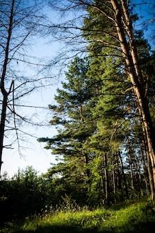 Вертикальный снимок высоких деревьев в лесу в солнечный летний день