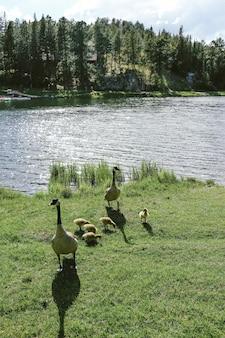水の近くのアヒルの子と草の上に立っている2つのアヒルの垂直ショット