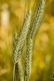 낮 동안 필드로 둘러싸인 밀의 두 개의 녹색 귀의 세로 샷