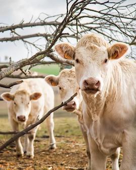 農場の白い子牛の垂直ショット