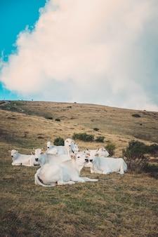 曇り空の下で牧草地で休んでいる白い牛の垂直ショット