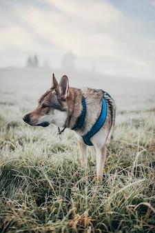 Вертикальный снимок волчьей собаки со шлейкой, стоящей на траве