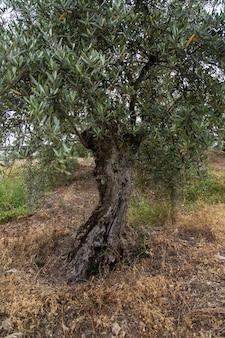 Colpo verticale di un vecchio olivo russo con foglie verdi in un campo erboso