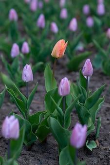 Colpo verticale di un tulipano alto arancione tra quelli viola - concetto in piedi fuori