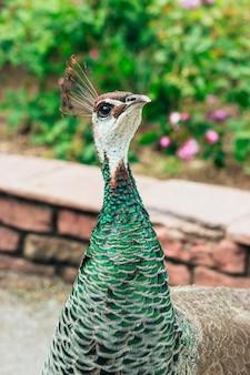 Vertical shot of a peafowl at a garden