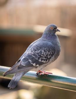 Colpo verticale di un piccione appollaiato su un tubo metallico