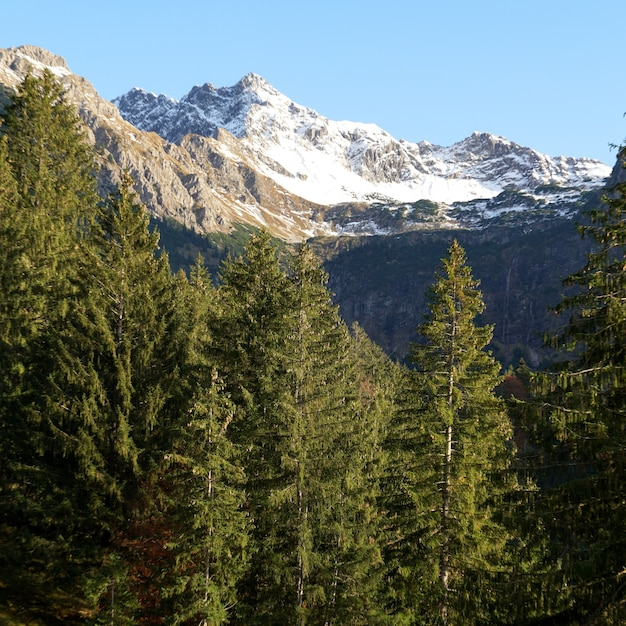 Colpo verticale dei picchi di pino con montagne innevate nelle alpi allgaeu