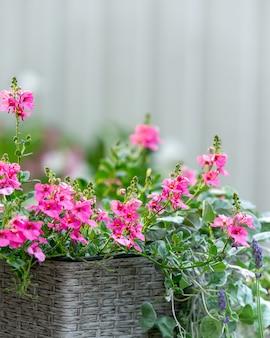 Colpo verticale di fiori rosa diascia in un cesto