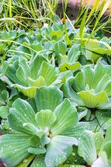 Colpo verticale delle piante di pistia che crescono una accanto all'altra