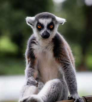 Vertical shot of a ring-tailed lemur behind a green