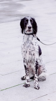 Vertical shot of russian spaniel with harness on the street