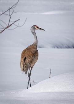 Vertical shot of sandhill crane on the snowy land
