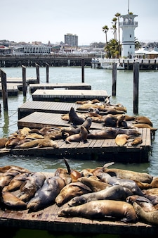 Vertical shot of sea lions on wooden piers in san francisco, usa