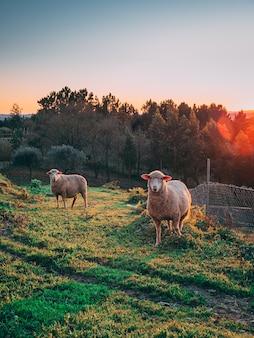 Colpo verticale delle pecore al pascolo nei campi verdi durante il tramonto con alberi sullo sfondo