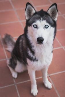 Colpo verticale di un husky siberiano sul pavimento di piastrelle un giorno