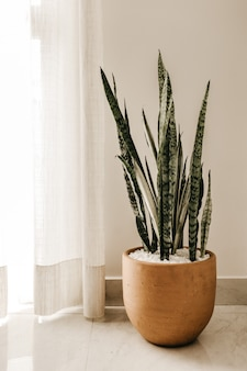 Vertical shot of a silver snake plant in a brown pot near white curtains