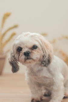 Vertical shot of a sitting shih poo in the house