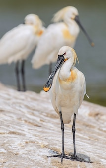Vertical shot of spoonbill bird standing on a rock with a blurred background