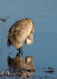 Vertical shot of a stork grooming itself on the water