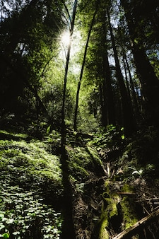 Vertical shot of the sun shining thru tall trees over the plants at redwoods, california