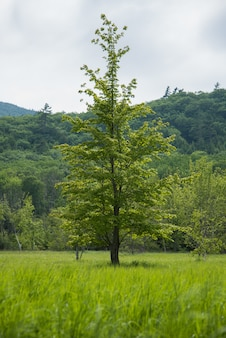 Vertical shot of a tall tree in center of a green field and a forest at the background