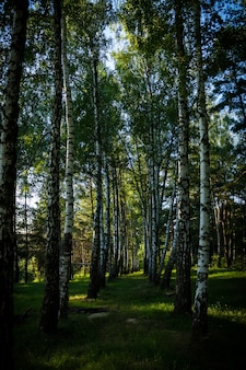 Vertical shot of the tall trees in the forest on a sunny day in summer