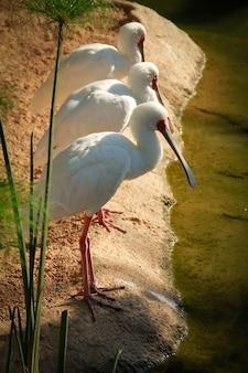 Ripresa verticale di tre bellissimi uccelli acquatici in piedi sul lato di uno stagno in una giornata di sole