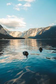 Colpo verticale di due anatre domestiche che nuotano in un lago a hallstatt, austria