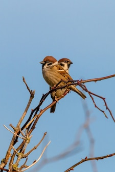 Vertical shot of two sparrows sitting on a branch of a tree and a blue sky