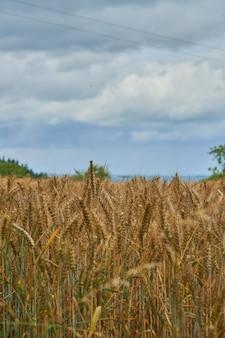 Colpo verticale del campo di grano in una giornata nuvolosa